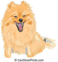 vector color sketch of the dog German Toy Pomeranian breed...