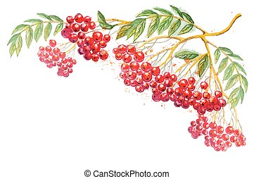 Vector composition with rowanberry branch - Beautiful hand...