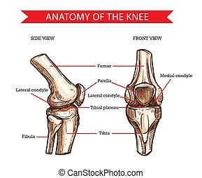 vector, coyuntura, bosquejo, huesos, rodilla humana, anatomía