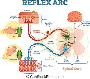 vector, cuerda, relevo, ilustración, estímulo, reflejo, neurona, neurona, anatómico, sensorio, espinal, arco, motor, tissue., músculo, esquema, camino