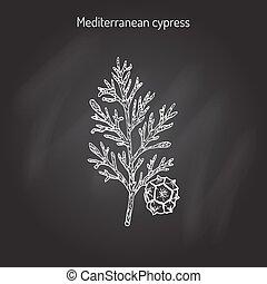 Mediterranean Cypress branch Cupressus sempervirens . Vector illustration