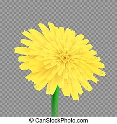 Vector dandelion isolated