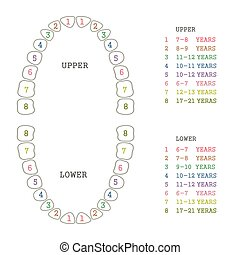 tooth chart, human teeth