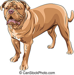 vector dog breed French Mastiff - closeup serious red dog...
