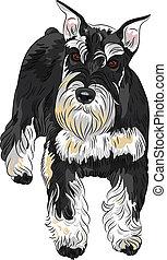 Vector dog breed Miniature Schnauzer black and silver color...