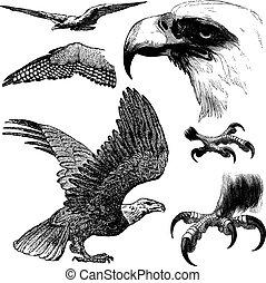 Vector Eagles - Set of vector eagles.