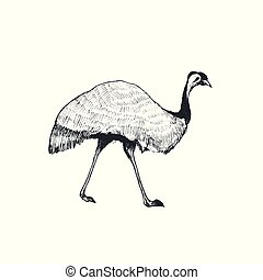 vector emu illustration - Hand drawn ostrich vector...