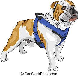 vector English Bulldog - dog breed english bulldog isolated...