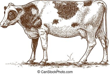 vector engraving cow - vector illustration of engraving cow...