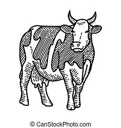 Vector engraving illustration of hand drawn spotted cow, isolated on white background. Farm animal with horns sketch.