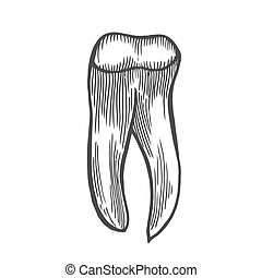 human tooth isolated