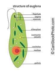 vector euglena structure - vector illustration of euglena...