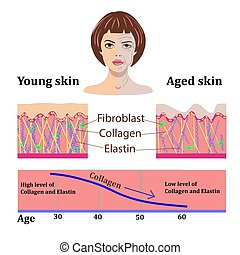 Vector faces and two types of skin - aged and young for medical and cosmetological illustrations isolated