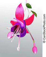 vector flower fuchsia - Fuchsia flower and buds on a branch...