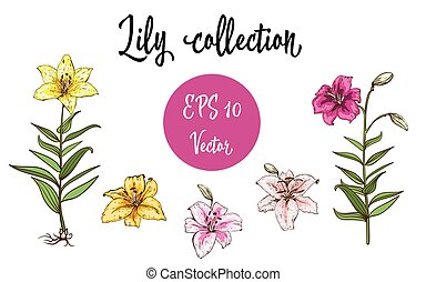 Vector flowers set of lilies. Isolated vector illustration on white background