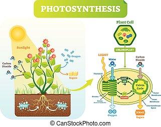 vector, fotosíntesis, scheme., célula, biológico, plan, ilustración, diagrama