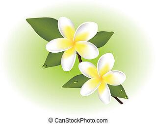 vector, frangipani, flores