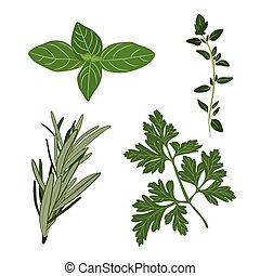 Vector fresh parsley, thyme, rosemary, and basil herbs. Aromatic leaves used to season meats, poultry, stews, soups, Bouquet granny