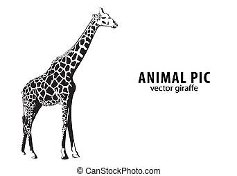 Black And White Giraffe Illustrations Stock Art 1739