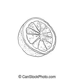 Vector Half Lemon Sketch, Outline Black Drawing Isolated on White Background, Contour Lines.