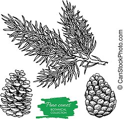Vector hand drawn botanical Pine cone and branch. Engraved ...