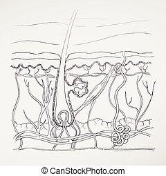 Vector Hand Drawn Human Skin Diagram - Vector Illustration...