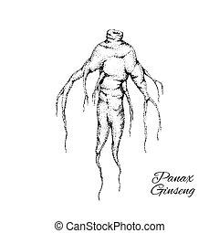 Panax Ginseng root.