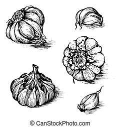 Vector hand drawn set of garlic with cloves. Spices sketch illustration isolated on white background