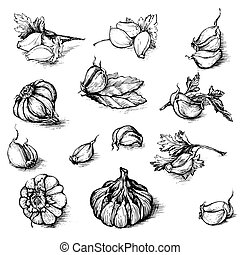 Vector hand drawn set of garlic with parsley and laurel leaf. Spices sketch illustration isolated on white background