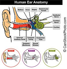 Vector Human Ear Anatomy with classification outer middle inner and all parts external auditory canal tympanic membrane cavity eustachian tube cochlea stapes incus malleus nerve round window