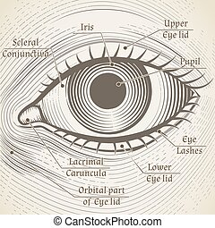 Vector human eye etching with captions. Cornea, iris and pupil. Name parts of the eye for books, encyclopedias