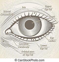 Vector human eye etching with captions. Cornea, iris and...