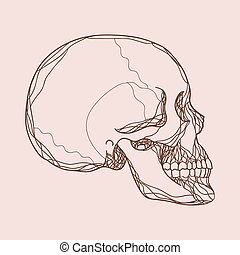 Vector human skull in profile