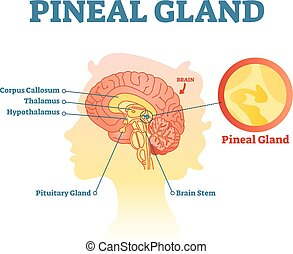 vector, humano, anatómico, cruz, glándula, sección, pineal, ilustración, brains., diagrama