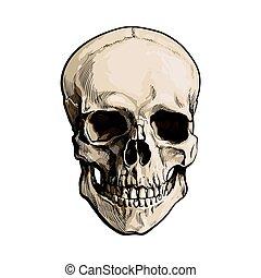 vector, humano, anatómico, estilo, mano, dibujado, modelo, ilustración, bosquejo, cráneo