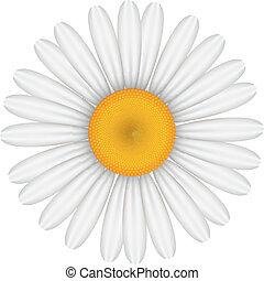 vector, illustratie, van, chamomile