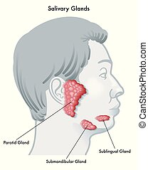 salivary glands - Vector illustration diagram of a face in ...