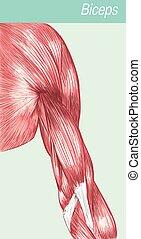 Vector illustration of a anatomy  medical biceps