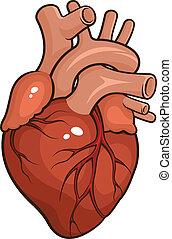Human Heart - Vector illustration of a Human Heart isolated ...