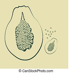 vector illustration of a papaya fruit with seeds vintage