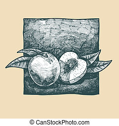 peach - Vector illustration of a peach stylized as engraving...