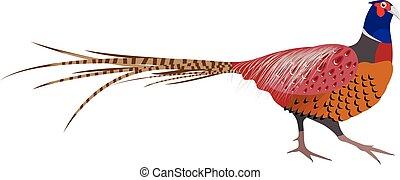 Vector Illustration of Pheasant. Pheasant isolated on white background. Vector illustration Pheasant.