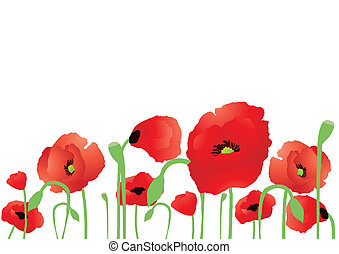 Vector illustration of beautiful poppies on a white background