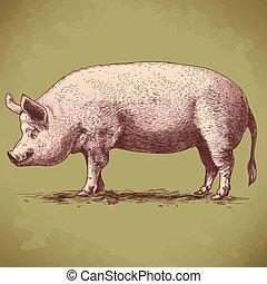 vector illustration of engraving big hog on white background