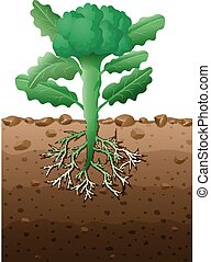 Broccoli plant with roots underground