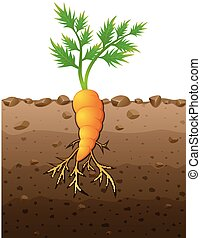 Carrot plant with roots underground