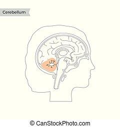 Vector illustration of Cerebellum - Vector isolated ...