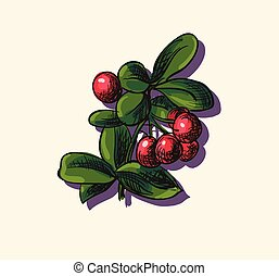 Vector illustration of cowberry