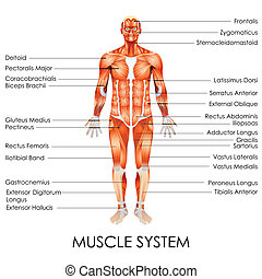Muscular System - vector illustration of diagram of Muscular...
