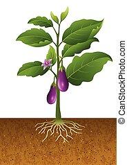 Eggplants plant on the tree